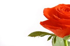 Belle Rose rouge Photo stock