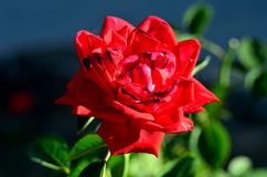 Belle Rose rouge Photographie stock