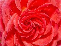 Belle Rose rouge avec des baisses de l'eau après pluie Image stock
