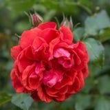 Belle Rose rouge dans un jardin Photos stock