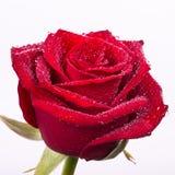 Belle rose rouge sang avec des baisses de l'eau Photos libres de droits