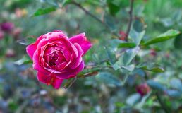 Belle Rose On rouge simple un arbre Photo stock