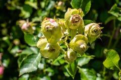Belle rose verdi Fotografia Stock Libera da Diritti