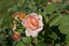 Belle roseraie colorée d'ina de rose Photographie stock