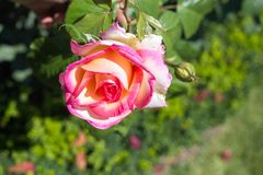 Belle roseraie colorée d'ina de rose Photo stock