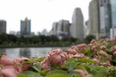 Belle roseraie de fleur avec le fond de ville Photographie stock libre de droits