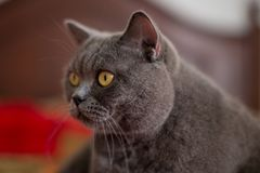 Belle séance britannique argentée de chat de shorthair Photo stock