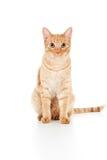 Belle séance de chat de gingembre Photos stock