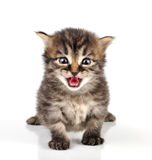 Belle séance mignonne de chaton de 20 jours Photos stock