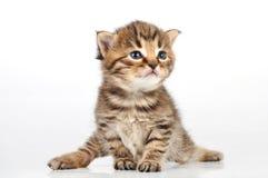Belle séance mignonne de chaton de 20 jours Images stock