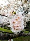 Belle Sakura Flowers rose avec la goutte de pluie Images libres de droits