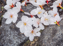 Belle Sakura Flowers On The Stone blanche Photo libre de droits