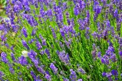 Belle sauge farineuse de floraison, farinacea de Salvia, pris étroitement  L'herbe curative pourpre étonnante attire des papillon photographie stock libre de droits