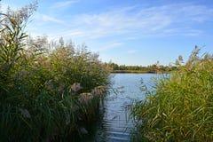 Belle scène d'été avec le lac Vue de côte avec des bosquets de jonc Photos libres de droits