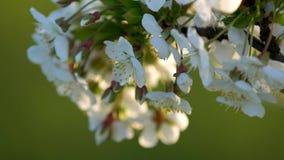 Belle scène de nature avec un arbre fleurissant Jour ensoleillé banque de vidéos