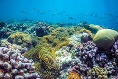 Belle scène sous-marine avec l'espèce marine au soleil en mer bleue Paradis sous-marin des Maldives Photos libres de droits