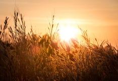 Belle sc?ne avec onduler l'herbe sauvage sur un coucher du soleil images stock