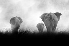 Belle silhouette des éléphants africains au coucher du soleil photographie stock