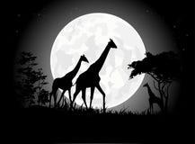 Belle siluette della famiglia della giraffa con il fondo gigante della luna Fotografia Stock