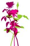 Belle siluette di rosa dei fiori. Fotografie Stock