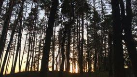 Belle soirée dans les arbres forestiers banque de vidéos