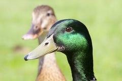 Belle tête de canards sauvages à la lumière du soleil Image libre de droits