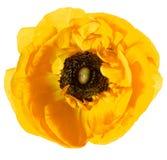 Belle tête de fleur simple jaune Images libres de droits