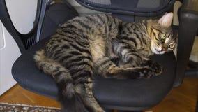 Belle Tabby Cat dort sur la chaise clips vidéos