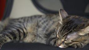 Belle Tabby Cat dort sur la chaise et la course quelque part banque de vidéos