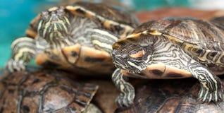 Belle tartarughe a strisce fotografia stock