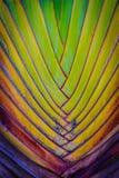 Belle texture du tronc d'arbre du voyageur (Ravenala Madagascar Image stock