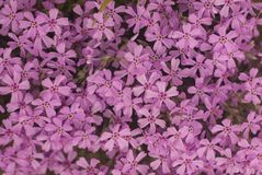 Belle texture rose de fleurs comme fond images stock
