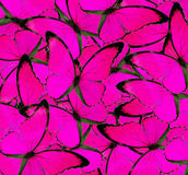 Belle texture rose de fond de papillon Photographie stock