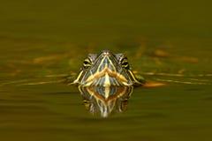 Belle tortue en rivière glisseur Rouge-à oreilles, scriptta de Trachemys Tortue dans l'habitat de rivière de nature Portra de vis Photographie stock libre de droits