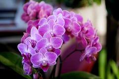 Belle transitoire des orchidées de pourpre de phalaenopsis Photo libre de droits