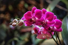 belle transitoire pourpre d'orchidée de phalaenopsis photos stock