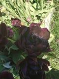 Belle tulipe de festival dans la couleur différente de l'Orégon images libres de droits