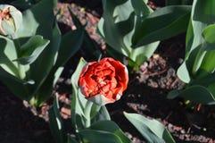 Belle tulipe de floraison sur un pr? en parc photo libre de droits