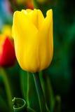Belle tulipe jaune Fond abstrait vertical Flowerbackground, gardenflowers Fleur de jardin Photo stock