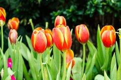 Belle tulipe orange Photo libre de droits