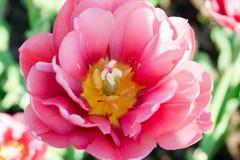 Belle tulipe rose Photo stock