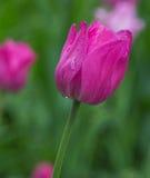 Belle tulipe rose dans le jardin après la pluie Photographie stock libre de droits