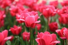 Belle tulipe rose sur le graden Image libre de droits