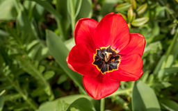 Belle tulipe rouge Photos libres de droits