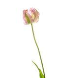 Belle tulipe sur un fond blanc Images libres de droits