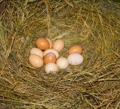 Belle uova domestiche del pollo in un nido Fotografia Stock
