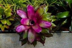 Belle usine d'ananas ou fasciata décorative d'Aechmea dans l'alose Photo libre de droits