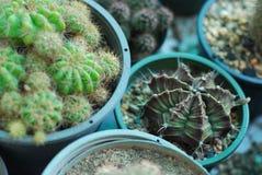 Belle usine de cactus dans le pot Images libres de droits