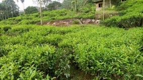 Belle usine de thé naturelle cette photo du Sri Lanka images stock