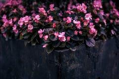 Belle usine rose de fleurs dans un conteneur noir photos stock